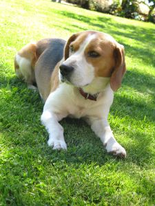 cute-beagle