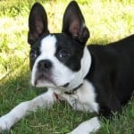 work-at-home_boston_terrier