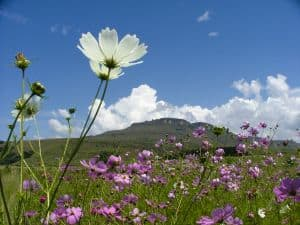 cosmos-green-hills