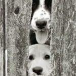 puppies-peekaboo