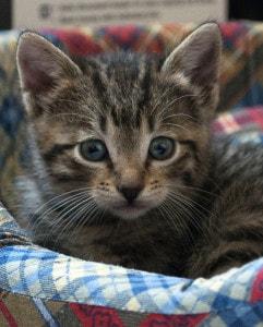 cute kitten gray white