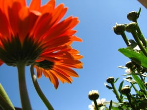 orange flower against a blue sky