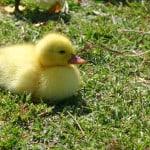 fuzzy-duckie