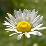 single daisy on green