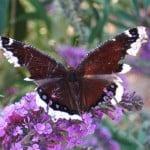 butterfly-on-purple flower