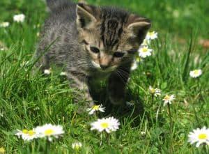 kitty-in-daisy-field-image