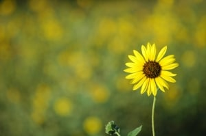 little-sunflower-image