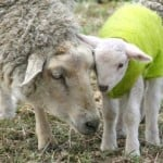 sheep_mother_love_image