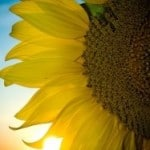 bright-sunflower-image