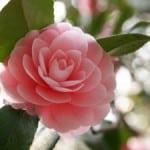 camellia-pink-image
