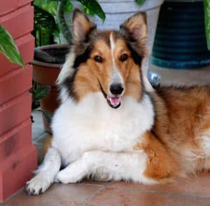 collie-resting-image
