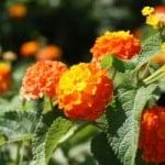 orange-blooms-image