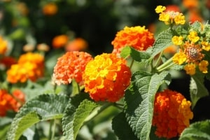 orange-blooms-image