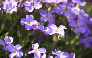 purple-violet-image