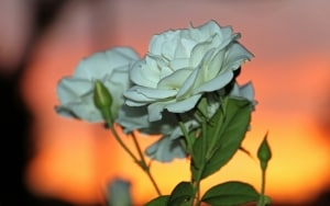 roses-sundown-image