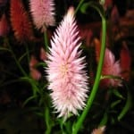 pink-spikey-flower-image