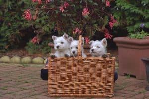 three-pups-basket-image