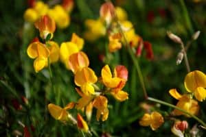 yellow-lupines-image