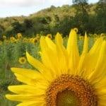 sunflower-fields-image