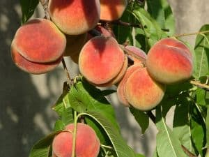 peaches-leaves-image