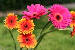 orange-pink-gerberas-image