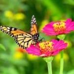 monarch-zinnia-image