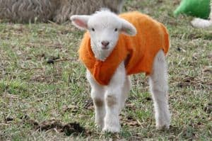 lamb-orange-sweater-image
