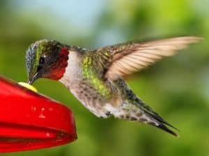 ruby-throated-hummingbird-image