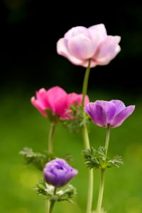 anemone-pink-and-purple-image