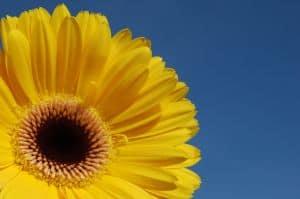 yellow-gerbera-image