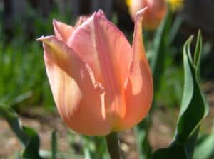 peach-tulips-image