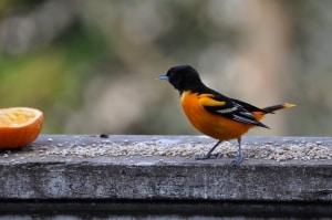 bird-oriole-image