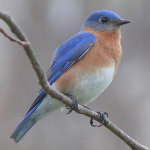 bluebird-on-limb-image
