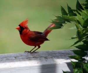 little-cardinal-image