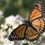 bright-orange-monarch-butterfly-image