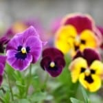 purple-yellow-pansies-image