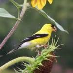 yellow-goldfinch-image