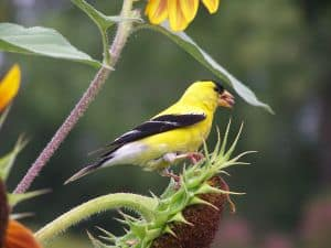 yellow-goldfinch-image