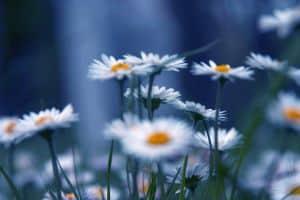 fuzzy-daisies-image
