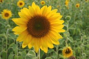 sunny-flower-in-fields-image