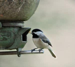 chickadee-at-bird-feeder-image