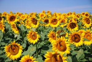 sunflower-field-and-skies-image
