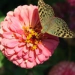 pink-zinnia-brown-butterfly-image