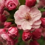 pink_spring_blossoms_image