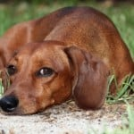 little-brown-dachshund-image