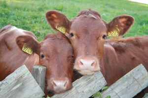calves-at-fence-image