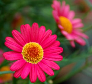 pink-flowers-yellow-center-image