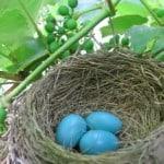 robin-eggs-blue-nest-image