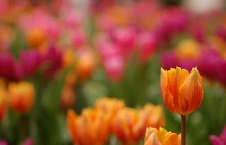 color-burst-tulips-image