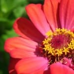 pink-and-red-zinnia-closeup-image